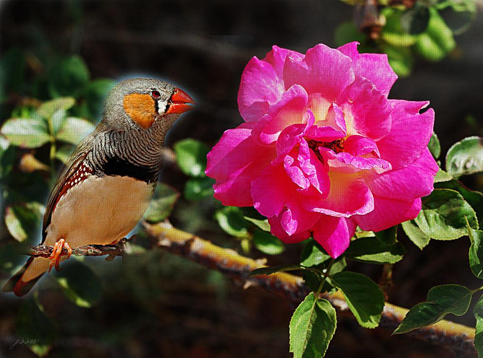 love rose flower - Page 2 IMGP3919