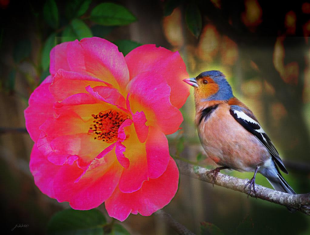 love rose flower - Page 2 IMGP3926