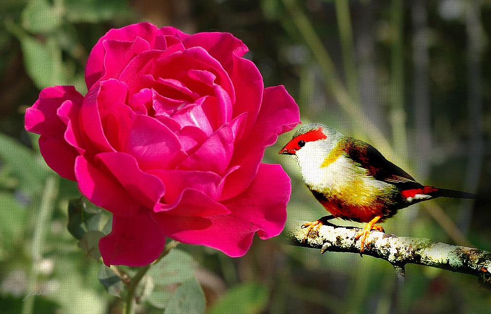 love rose flower - Page 2 IMGP3942