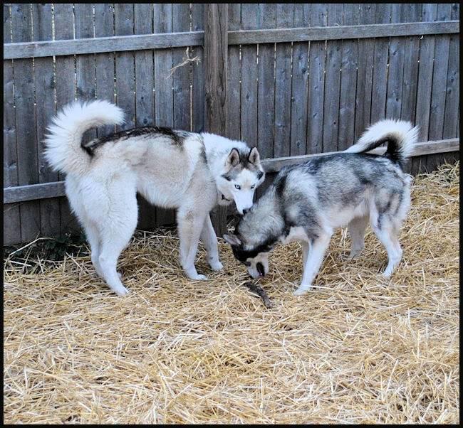 Husky Party 20101115_12