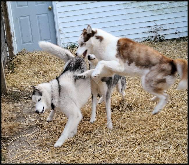 Husky Party 20101115_46