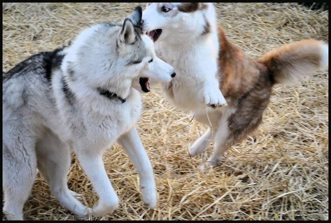Husky Party 20101115_56