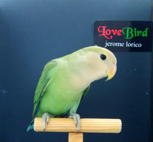 african lovebird corner... PHgreen9
