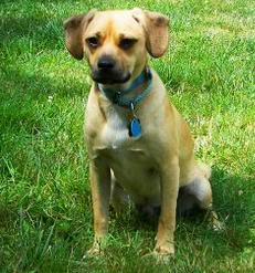 This is my dog Dumbledorp Puggle