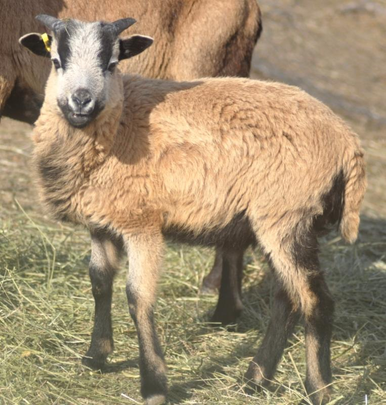 American Blackbelly, Painted Desert and MouflonX Sheep for sale Troy124000318030486_zpsd9ce68f0