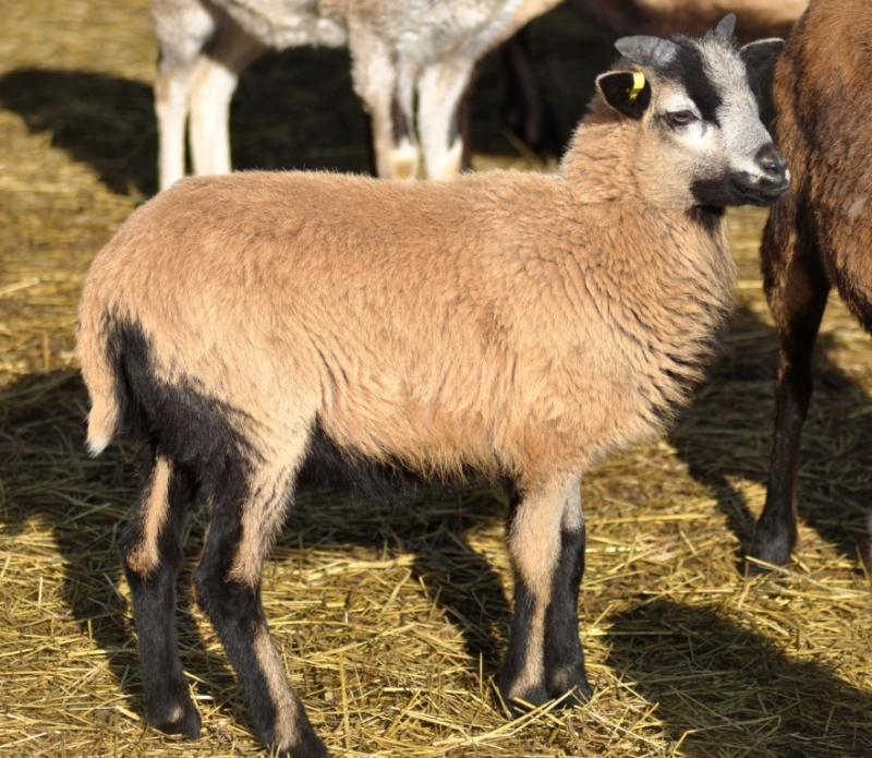 American Blackbelly, Painted Desert and MouflonX Sheep for sale Zack124000318030487_zpsa80d83f3