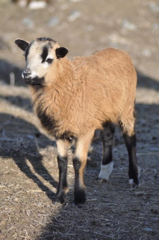 American Blackbelly, Painted Desert and MouflonX Sheep for sale Sheepapril18th2_zps926f5ac8