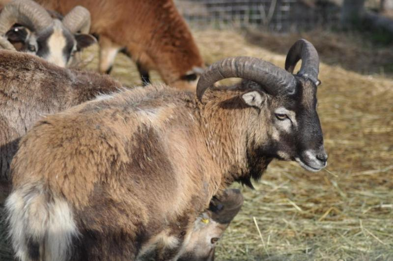 American Blackbelly, Painted Desert and MouflonX Sheep for sale Sheepiesapril1826_zps2aff2201