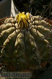 The Cop's are coming out... Th_Copiapoa_cinerea_0309c
