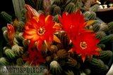 Some like a red Ferrari... Th_Chamaecereus_silvestrii_1108b