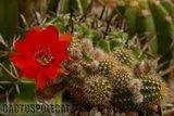 Some like a red Ferrari... Th_Echinopsis_chamaecereus_X_Wotan_-1