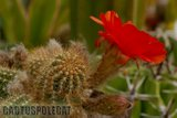 Some like a red Ferrari... Th_Echinopsis_chamaecereus_X_Wotan_-2