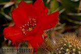 Some like a red Ferrari... Th_Echinopsis_chamaecereus_X_Wotan_120