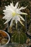 Echinopsis - Lobivia obrepanda. Th_Echinopsis_subdenudata_1108a