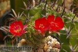 Some like a red Ferrari... Th_Lobivia_lateritia_syn_carminanth-1