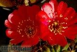 Some like a red Ferrari... Th_Lobivia_lateritia_syn_carminanth-2