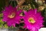 Echinopsis - Lobivia obrepanda. Th_Lobivia_obrepanda_1108b
