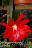 Who are the Epiphyllum growers? Th_Epiphyllum_red_1107a