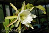 Who are the Epiphyllum growers? Th_Epiphyllum_white_1206a