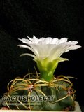 What am I? (ID required) Th_Gymnocalycium_monvillei_1206_a