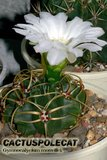 What am I? (ID required) Th_Gymnocalycium_monvillei_1207a