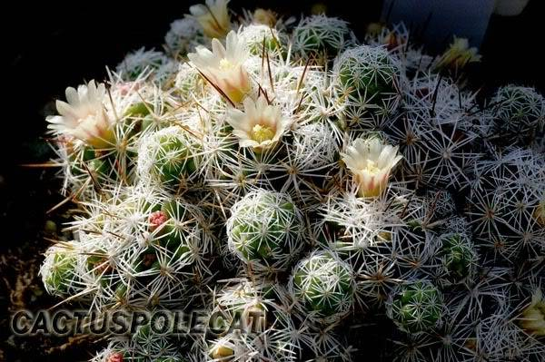 mammillaria gracilis Mammillaria_gracilis_0707