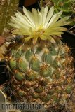 A couple of Corys in flower. Th_Coryphantha_calipensis_0109a