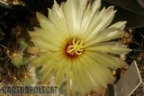 A couple of Corys in flower. Th_Coryphantha_calipensis_0109b