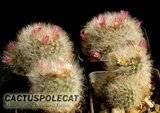 Quick Mamm Id Th_Mammillaria_bocasana_forms_1206