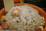 Quick Mamm Id Th_Mammillaria_bocasana_splendens_0309