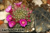 Can I have a name for this one please? Th_Mammillaria_zeilmanniana_1008a