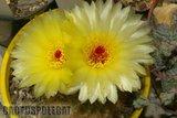 Not-o pics for the faint hearted. Th_Notocactus_floricomus_1108a