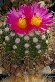 Not-o pics for the faint hearted. Th_Notocactus_herteri_220NATK_0108