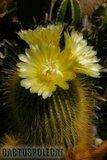 Not-o pics for the faint hearted. Th_Notocactus_leninghausii_1108