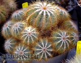 Not-o pics for the faint hearted. Th_Notocactus_magnifica