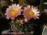 Not-o pics for the faint hearted. Th_Notocactus_roseolutea2