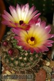Not-o pics for the faint hearted. Th_Notocactus_rutilans_1108c