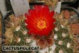 Noto flowers. Th_Notocactus_sp_903NATK_1008a