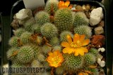 Some Cacti and Succulent id's Th_Rebutia_fabrisii_aureiflora_1108a