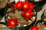 A few Rebutias Th_Rebutia_heliosa_1108a