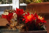A few Rebutias Th_Rebutia_horstii_1008c
