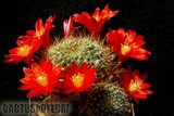 A few Rebutias Th_Rebutia_horstii_1008d