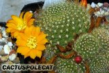 A few Rebutias Th_Rebutia_marsoneri_0908