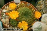 A few Rebutias Th_Rebutia_marsoneri_1008