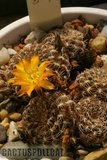 A few Rebutias Th_Sulcorebutia_sp_134KML_1108a