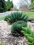 agave victoriae-reginaea (queen victoria agave) Th_A_ferd_regis_vic_reginae_0906
