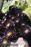 A few pix from my garden Th_Garden_Aeonium_Zwartkop_1209
