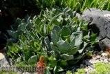 A few pix from my garden Th_Garden_Agave_BlueCluster_1209