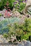 A few pix from my garden Th_Garden_Aloe_juvenna_1109