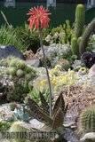A few pix from my garden Th_Garden_Aloe_saponaria_1209a